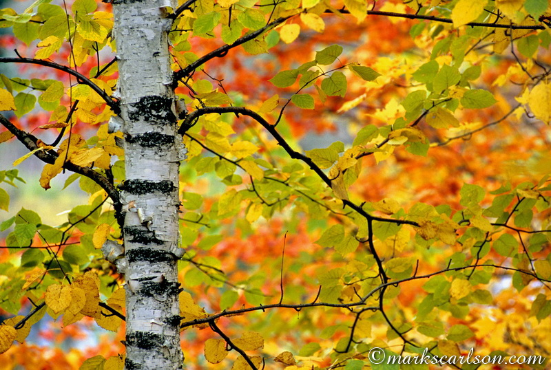 PBT012-Section of paper birch tree with background autumn color ©markscarlson.com