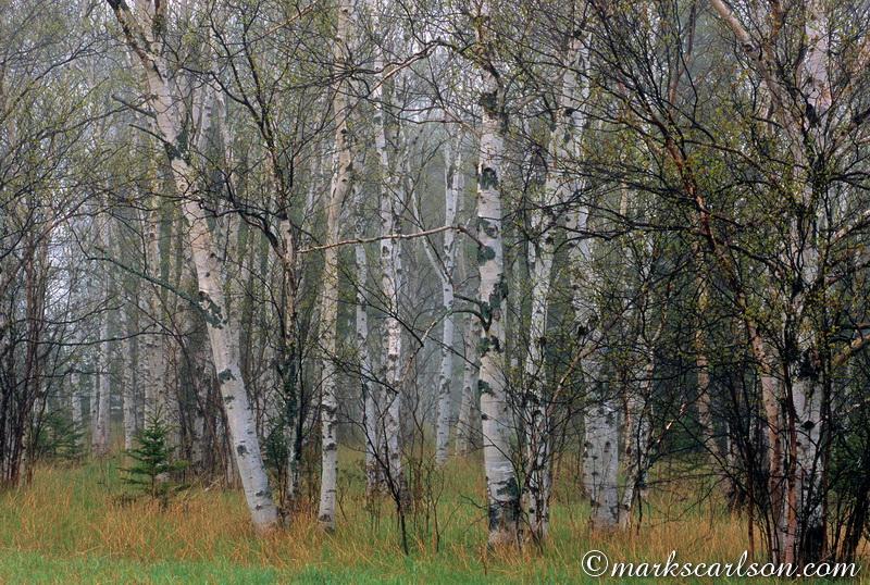 PBT013-Paper birch grove in spring fog ©markscarlson.com