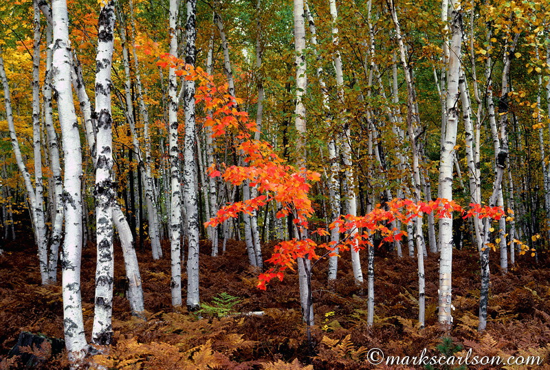 PBT018-Young red maple tree in birch woods, autumn ©markscarlson.com