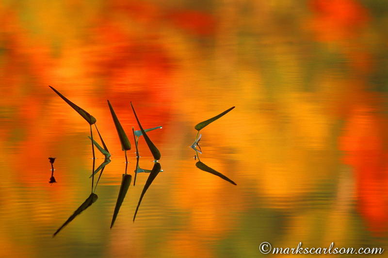 VP010-Pickerel Weed in lake with autumn reflections ©markscarlson.com