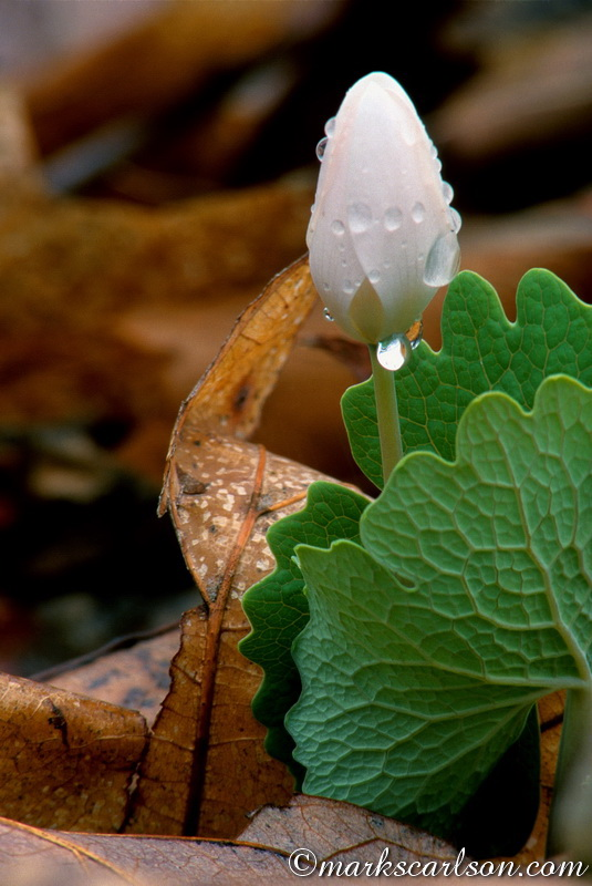 SE003-Bloodroot bud with raindrops ©markscarlson.com