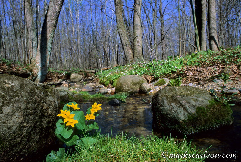 SE012-Marsh marigolds in creek bed ©markscarlson.com