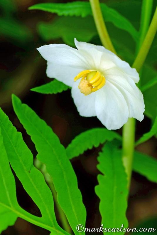 SE013-Mayapple blossom ©markscarlson.com