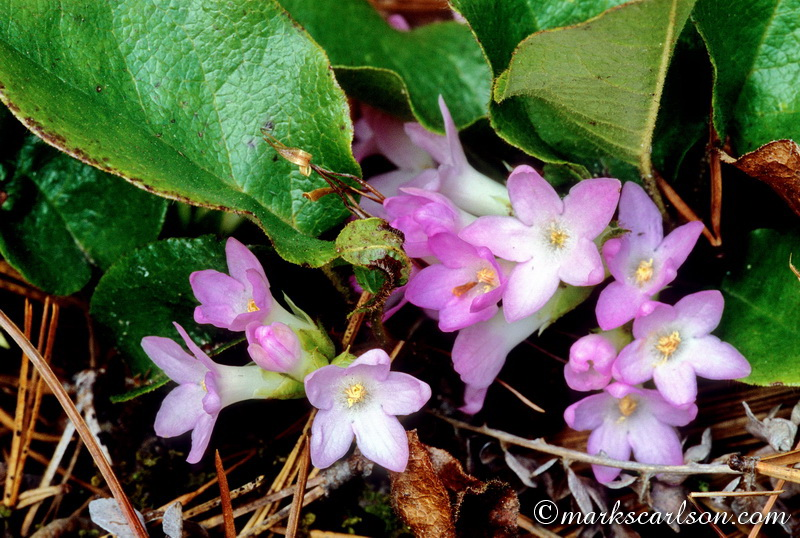 SE020-Trailing arbutus, pink coloration ©markscarlson.com