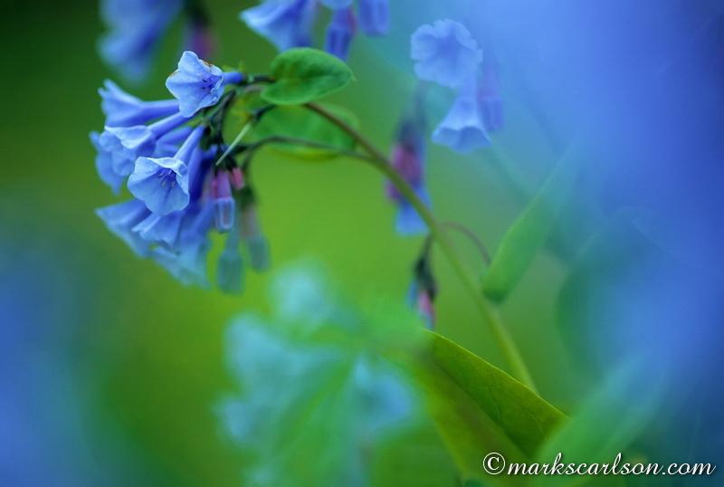 SE023-Virginia bluebells blossom cluster ©markscarlson.com