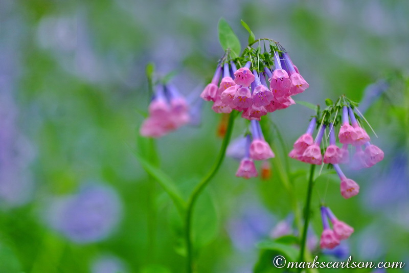 SE024-Virginia bluebells, pink coloration ©markscarlson.com