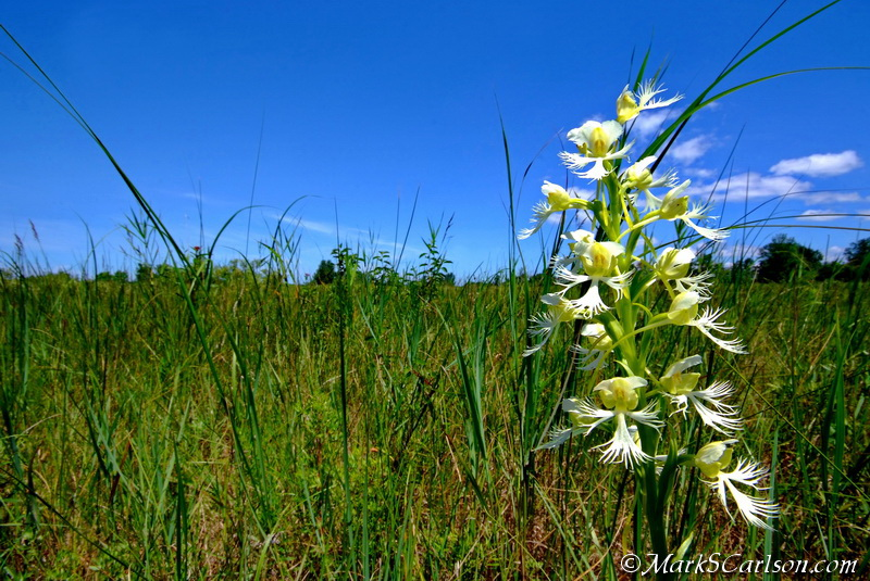 Eastern Prairie Fringed orchid (Platanthera leucophaea) ©markscarlson.com