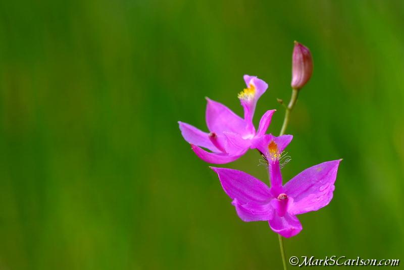 Grass Pink (Calopogon tuberosus) ©markscarlson.com