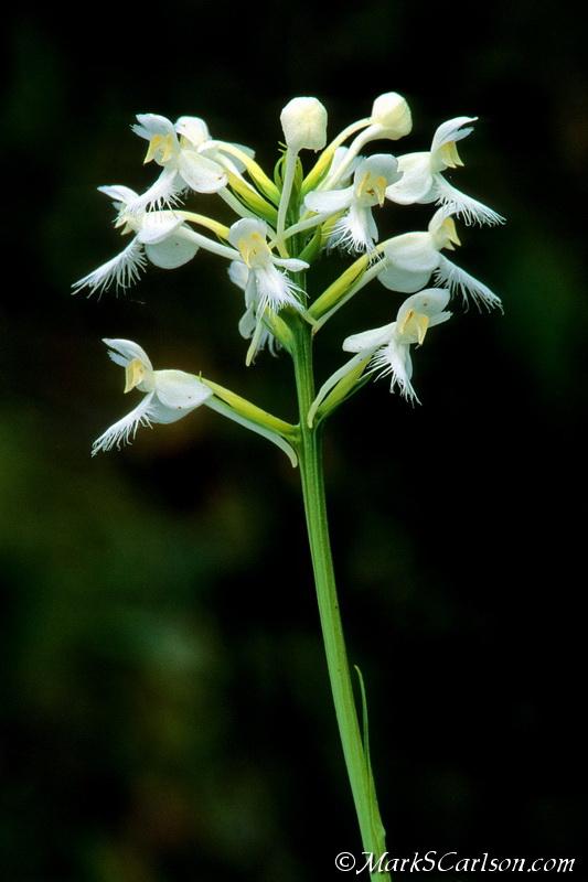 White Fringed-orchid (Platanthera blepharaglottis) ©markscarlson.com