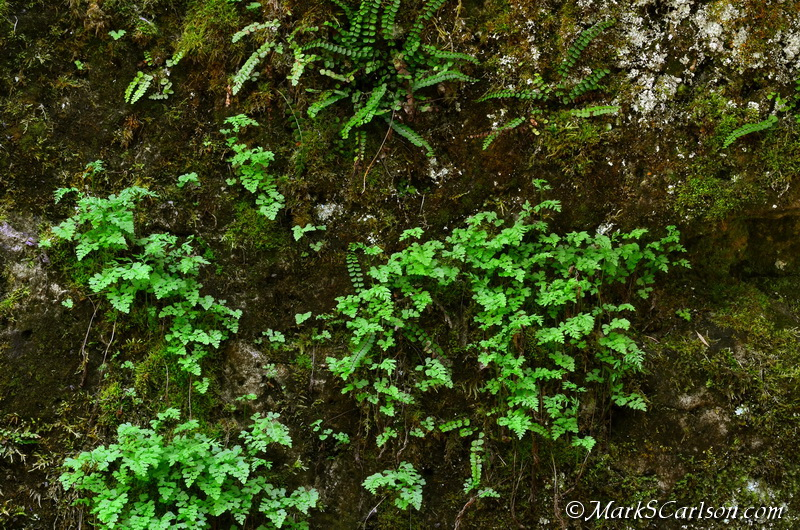Slender Cliffbrake Fern (Cryptogramma Stelleri) with Maidenhair Spleenwort; ©markscarlson.com