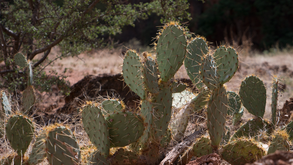 One of the variou cactus's around spread around Havasupai Falls. Copyright Hobo.life