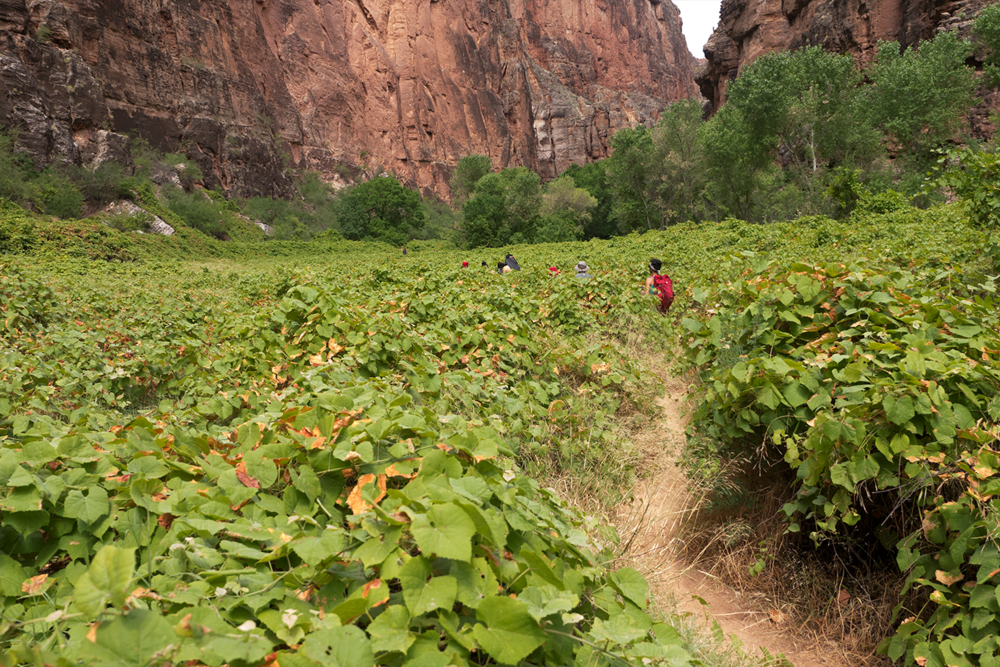 Hoang M Nguyen hiking through a corridor of wild grapes. Between tall Havasupai Canyons. Towards Beaver Falls. Copyright Hobo.Life