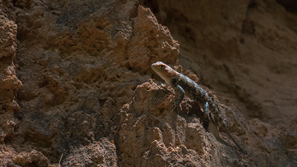 Various lizards taken in Havasupai Arizona by Hoang M Nguyen. Copyright Hobo.Life