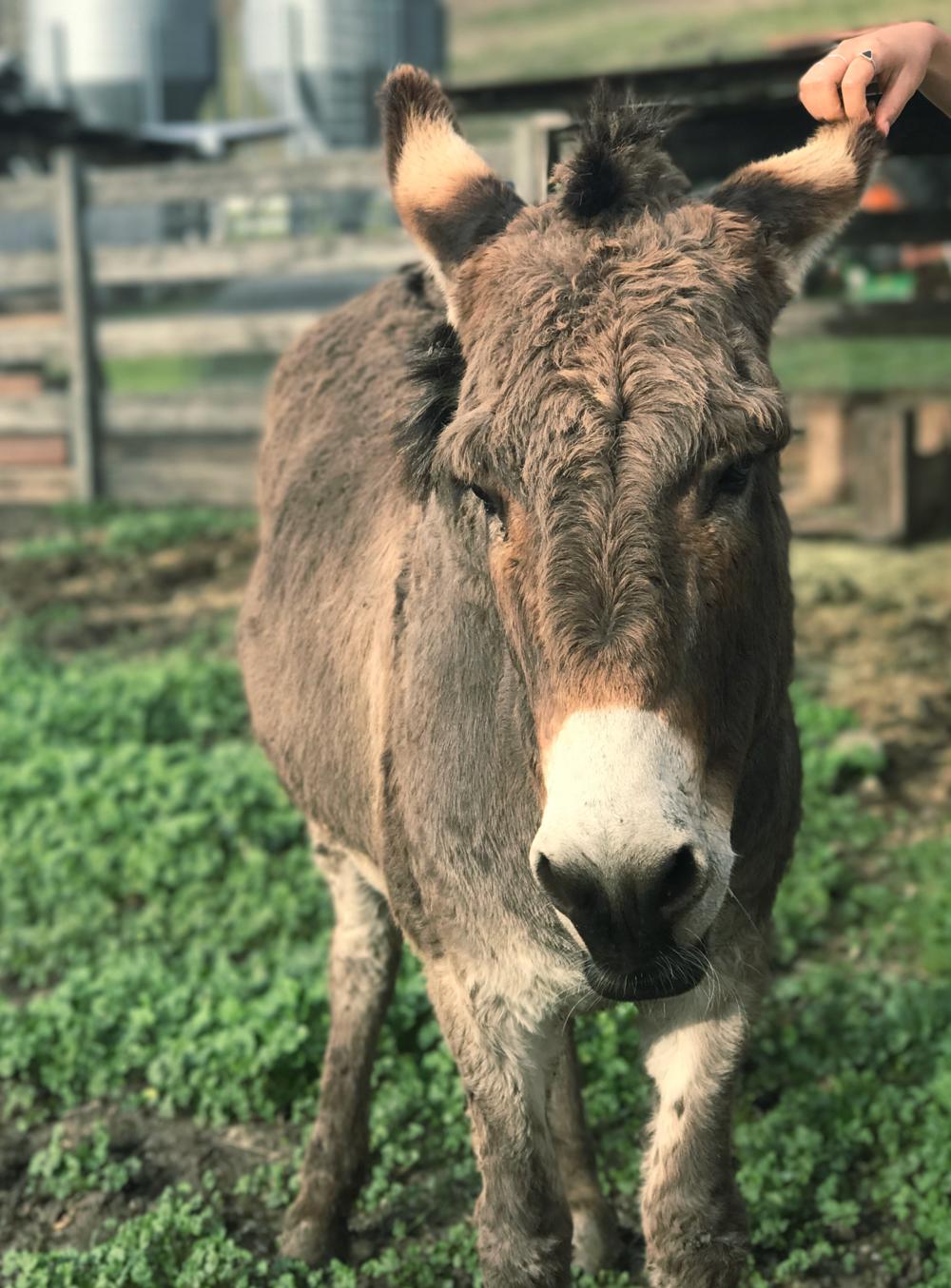 donkey-harley-goat-farms-hoangmnguyen-hobolife