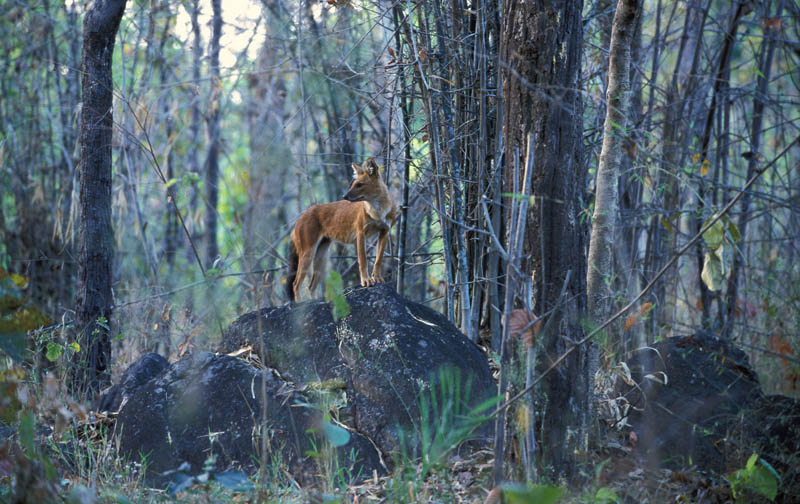 The handsome dhole (Indian wild dog).  Photograph by Robin Hamilton