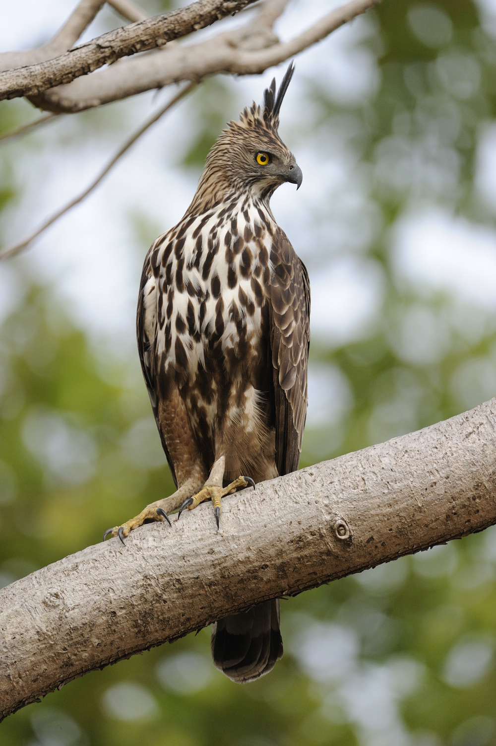 crested hawk eagle.jpg