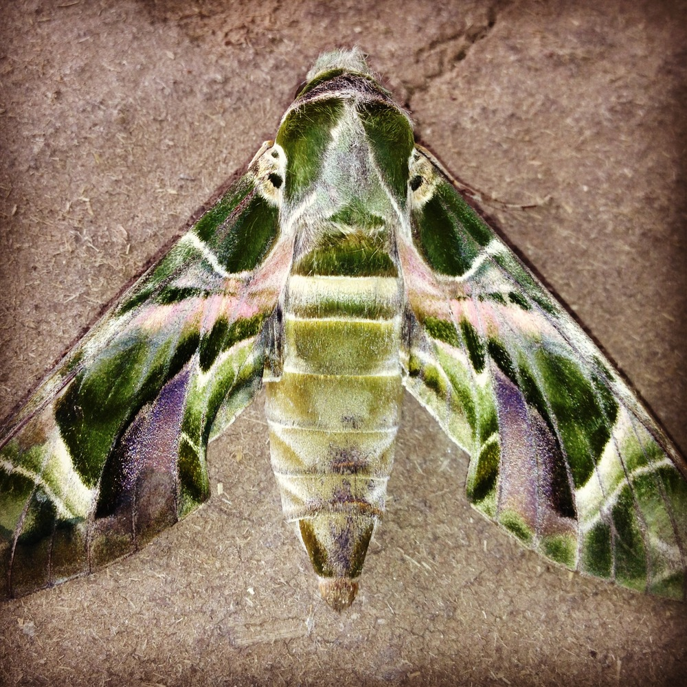 Oleander Hawk Moth . Photograph by Katie Bhujwala.
