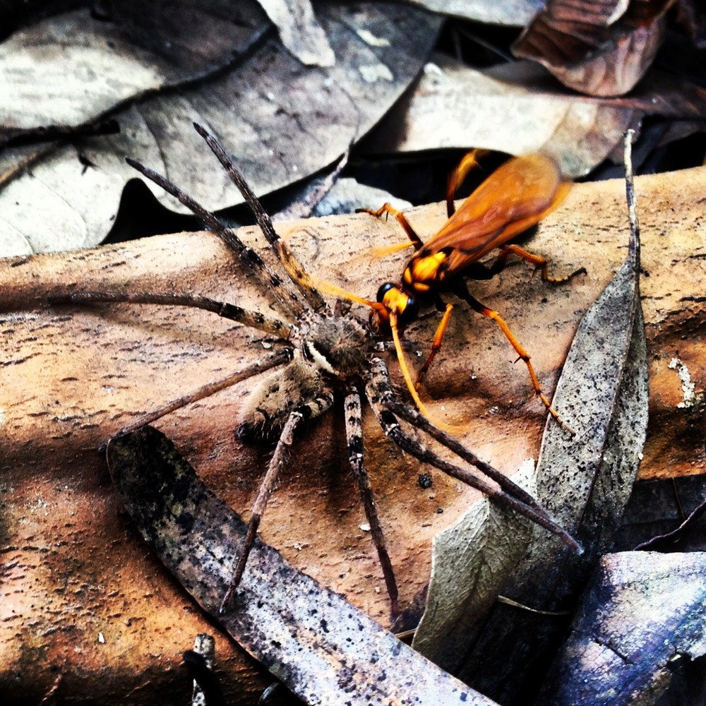 Mud-dauber wasp parylising a house spider and dragging it to her nest.  Photograph by Katie Bhujwala.