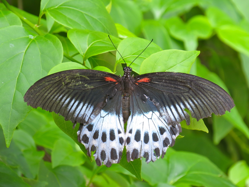 Blue Mormon.  Our largest butterfly. Photograph by Claire Meakin.