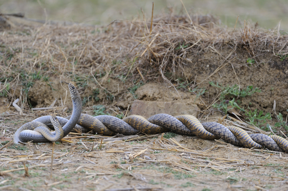Mating Rat Snakes.  Photograph by Robin Hamilton.