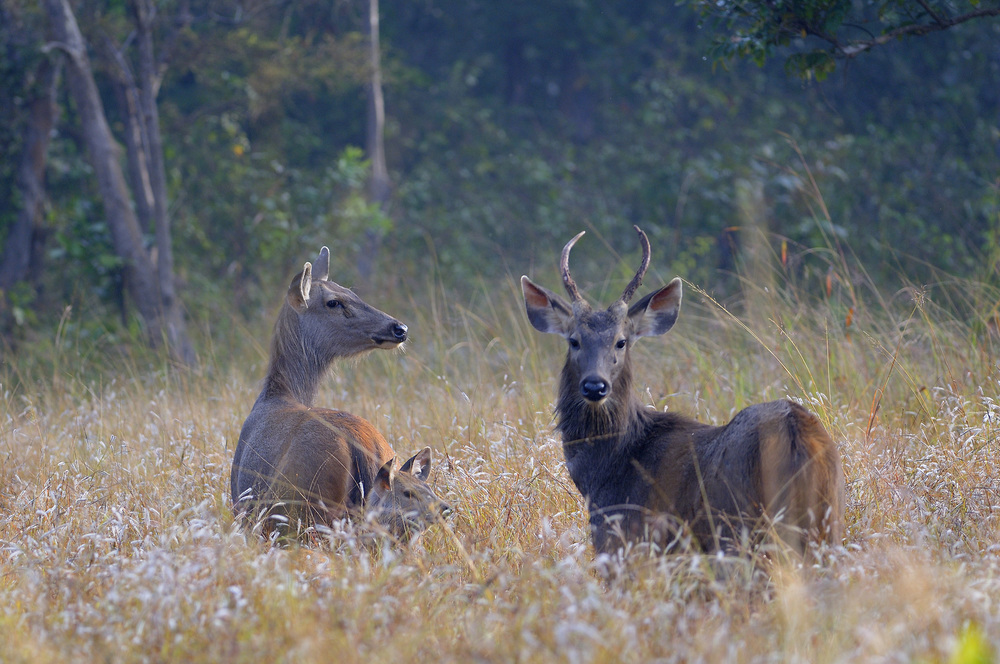 Sambar deer family . Photograph by Robin Hamilton