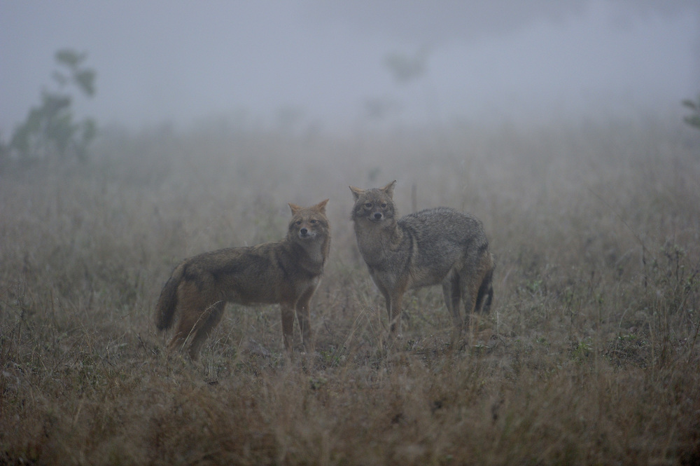 Jackals in the morning mist . Photograph by Robin Hamilton