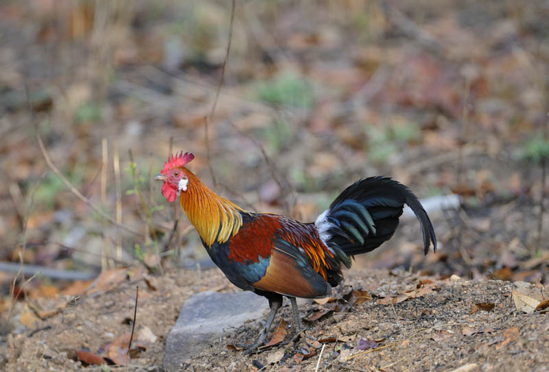 jungle fowl.jpg