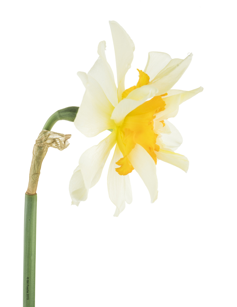 Narcissus 'Flower Drift'
