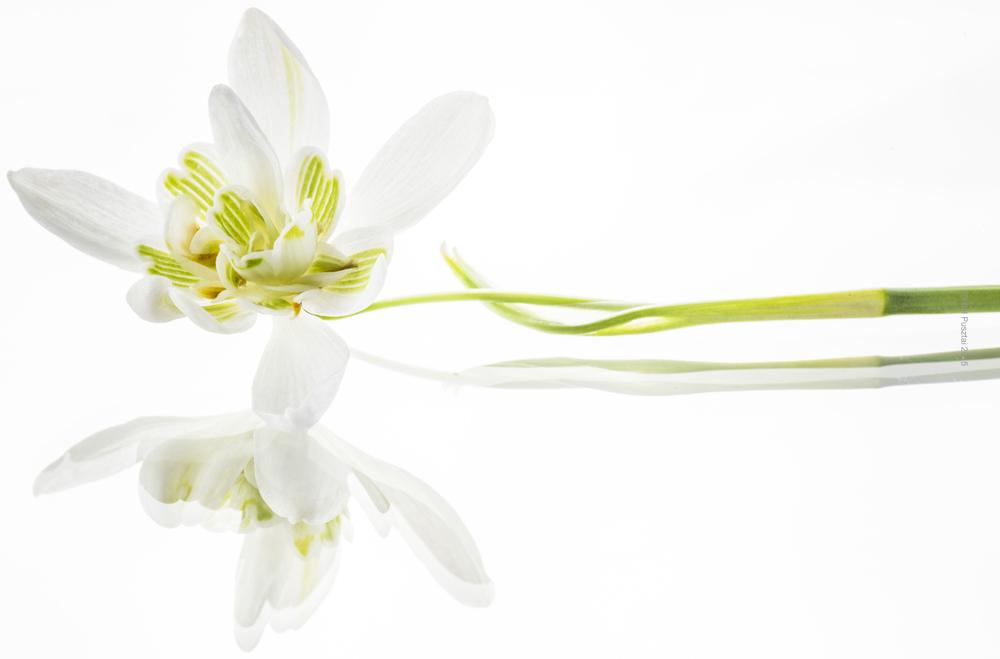 Galanthus nivalis forma pleniflorus 'Flore Pleno'