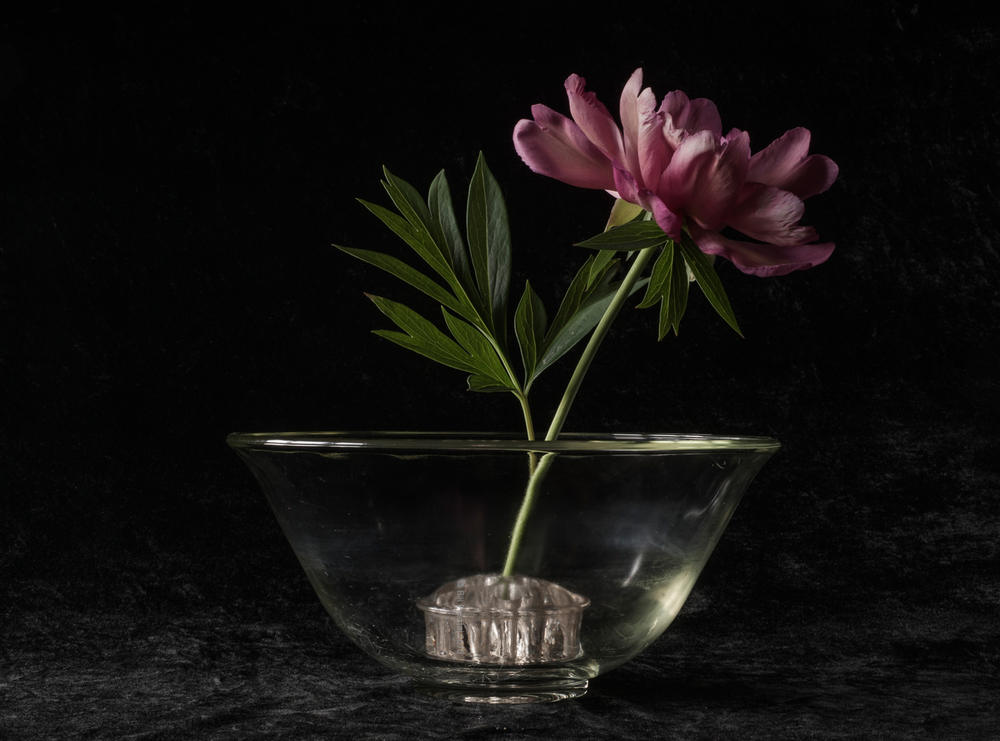 Paeonia Itoh 'Callie's Memory'