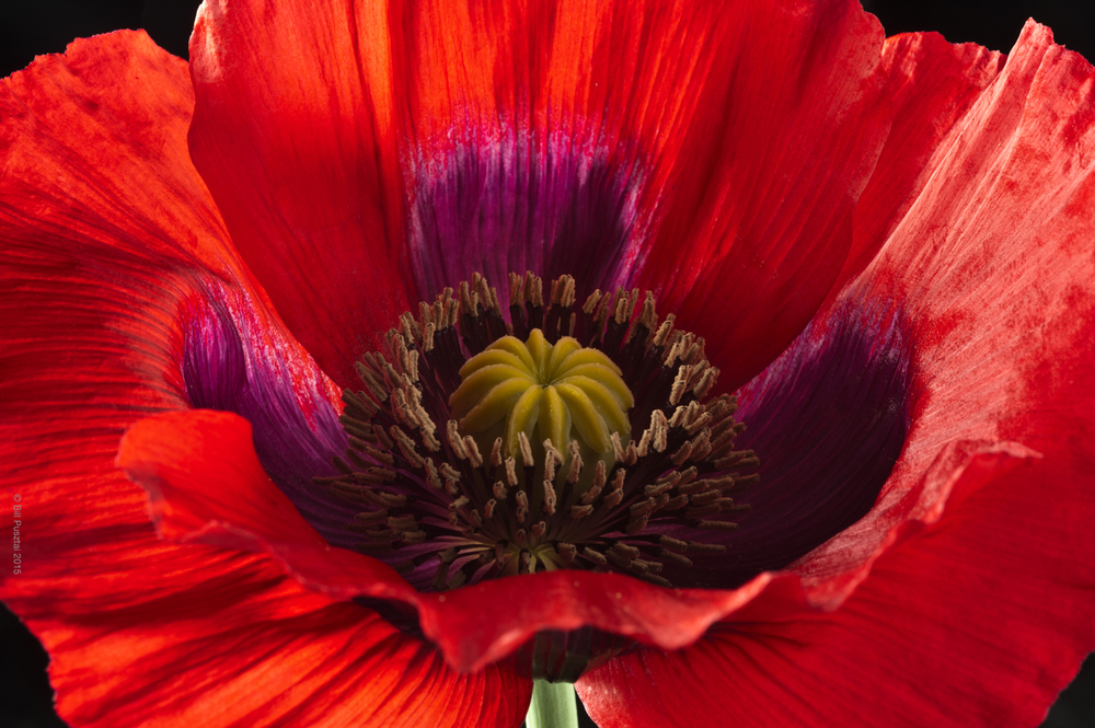 Papaver somniferum 'Turkish Red'