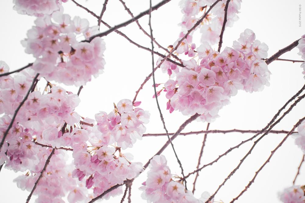 Prunus ×