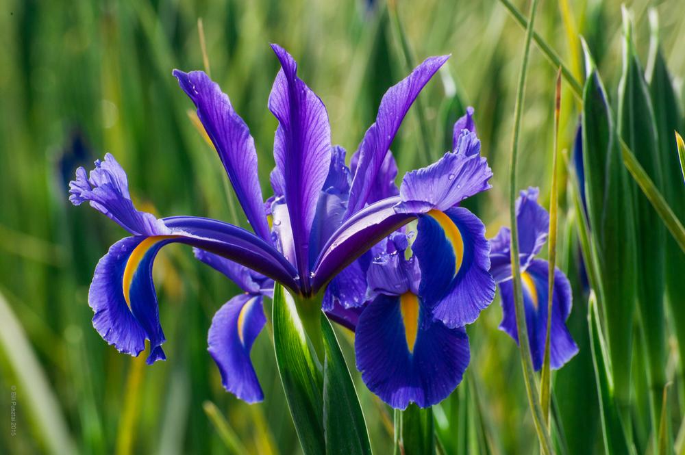 Iris 'Discovery'