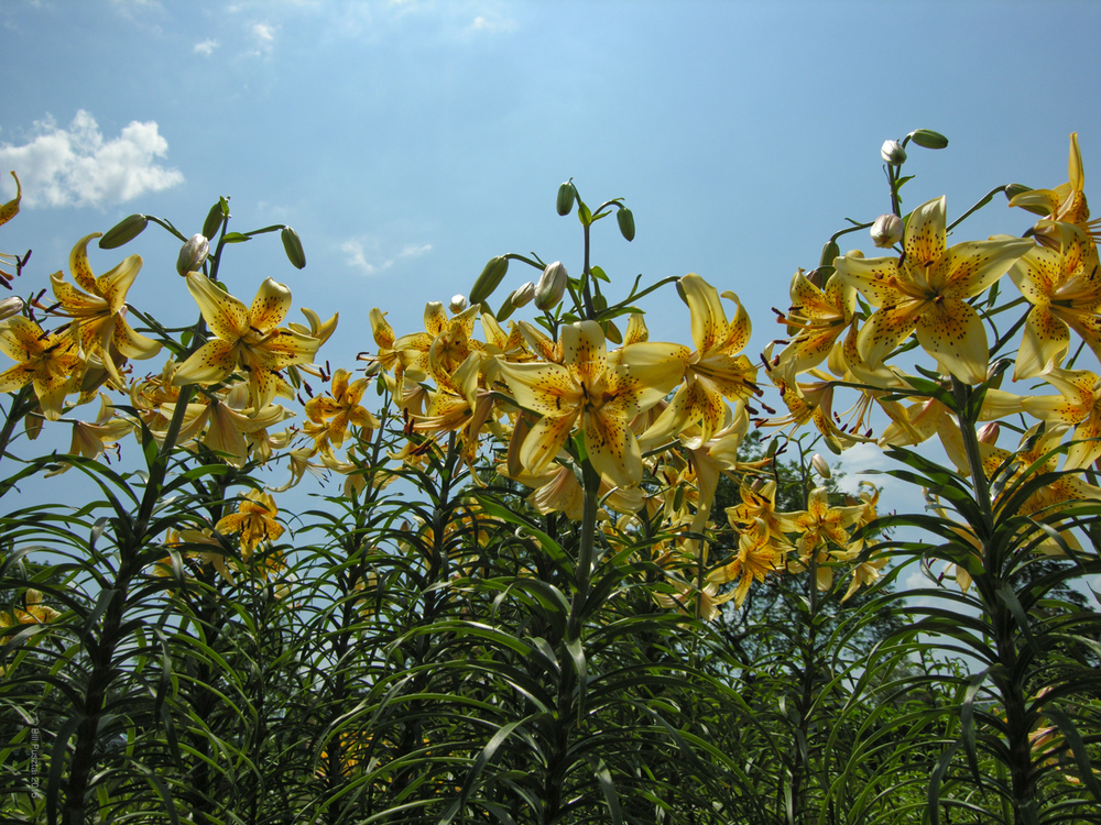 Lilium 'Honey Creme'