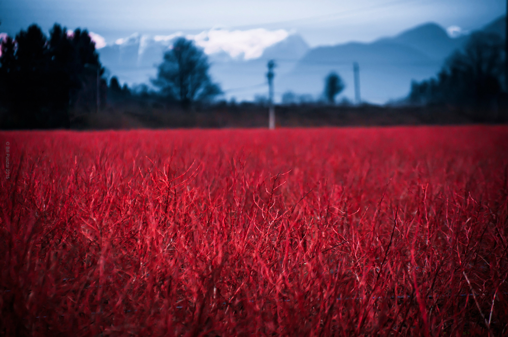 Cranberry Fields