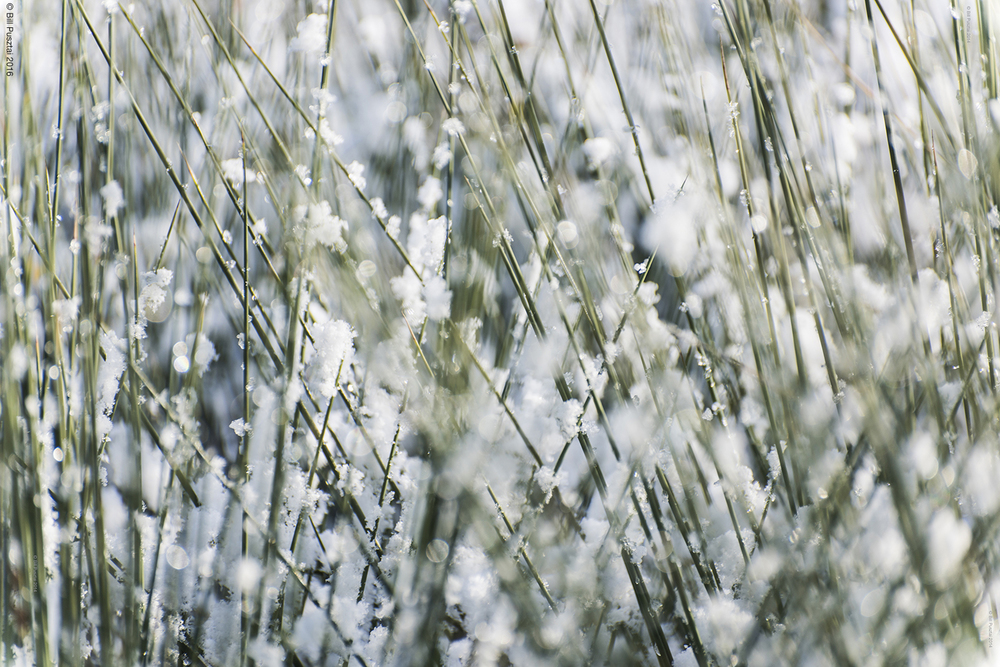 Sedges, winter