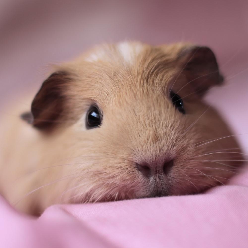 8850638-guinea-pig-hd.jpg