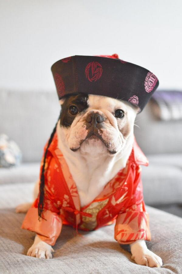 @mannie_the_frenchie welcoming in the Chinese New Year
