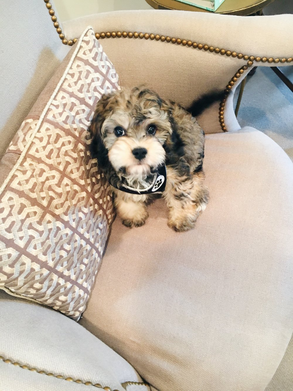 The newest member of the Jeannie Balsam Interiors team - Oakley!