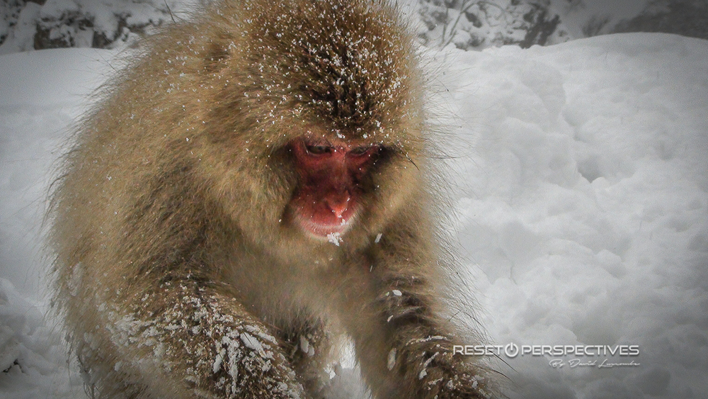 Snow monkey, Hukuba, Japan