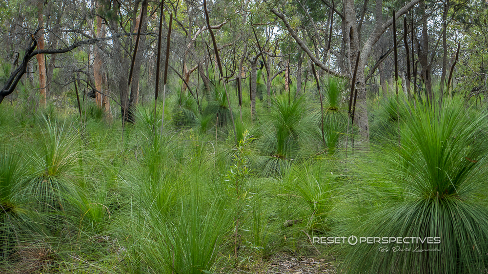 Grass trees, North Stradbroke Island, Queensland, Australia