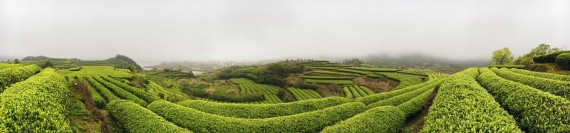 Tea fields in Liang Li's grandparents' hometown.   梁莉的爷爷奶奶的老家在福建省。