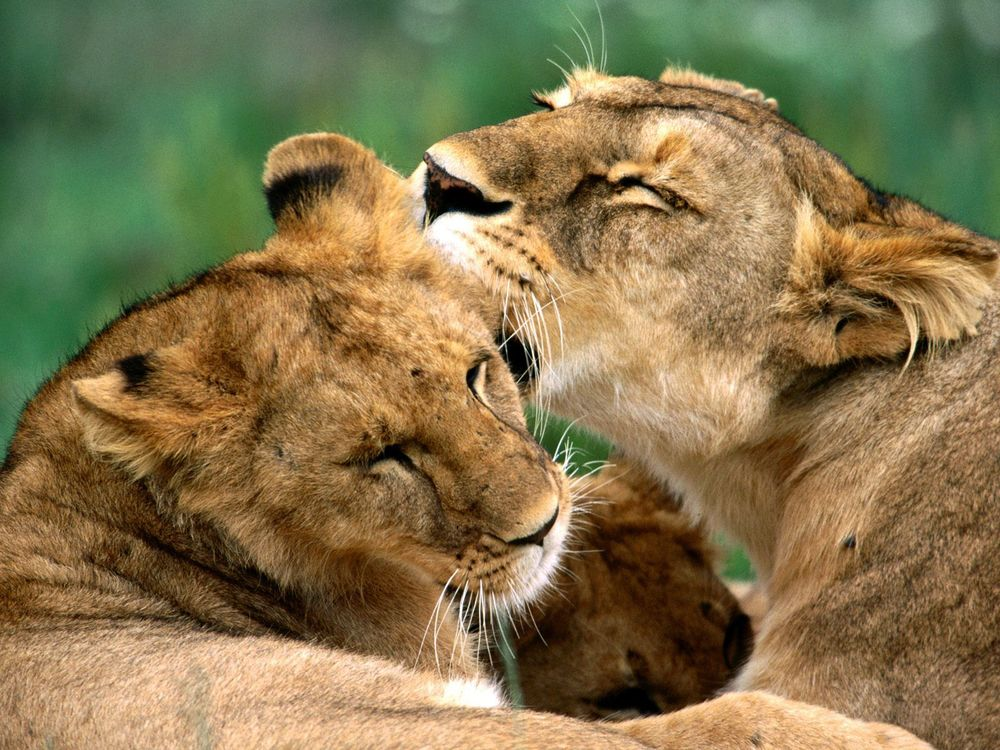 Lion kissing