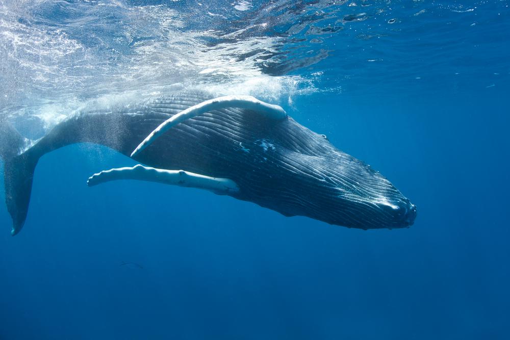 Humpback Whales in Samana