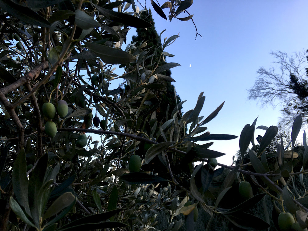 The pale greens of the olive trees in the evening are one of my favorite palettes in Greece.