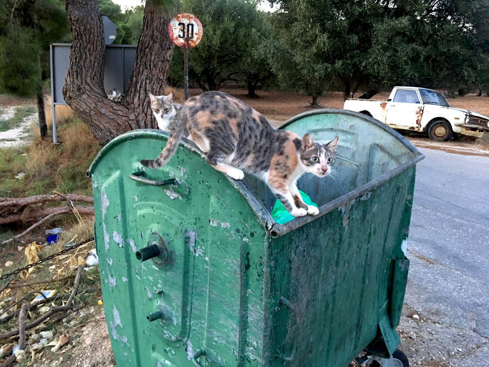 Most of Greece has a huge stray cat problem due to lax attitudes toward spaying and neutering.