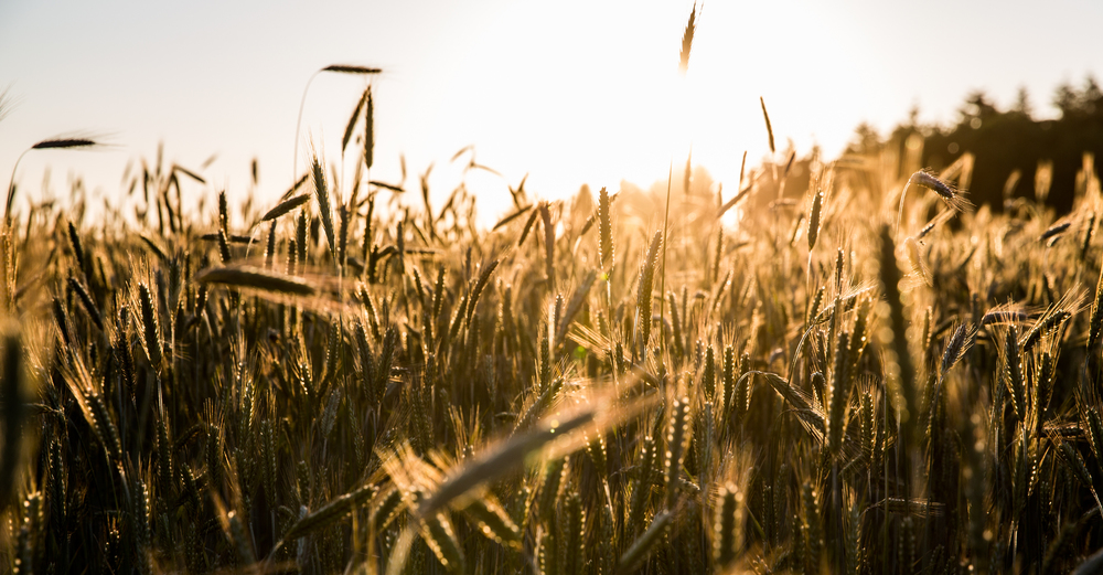 summerkorn.jpg