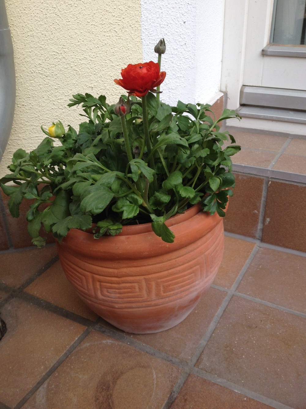 Ranunculi Plant - Savannah Page
