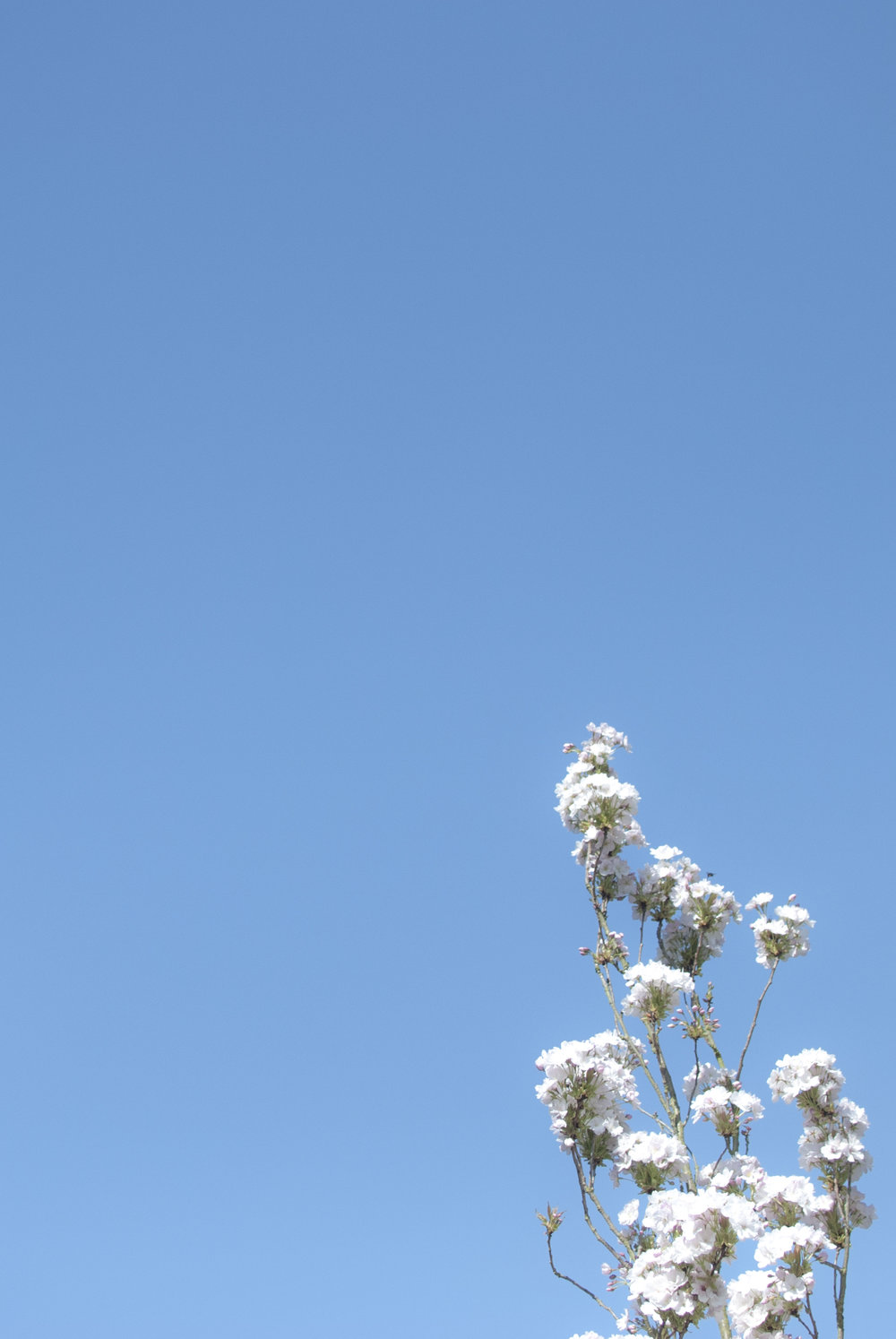 Soft blue skies and white blossom in Peckham