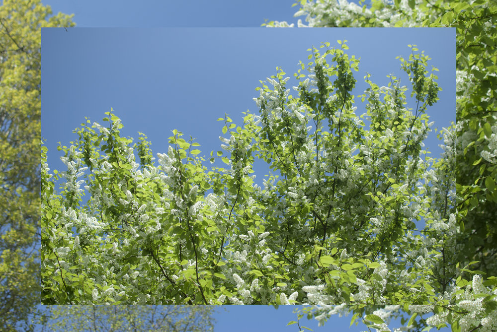 Peckham Spring - blossom in Peckham Rye Park